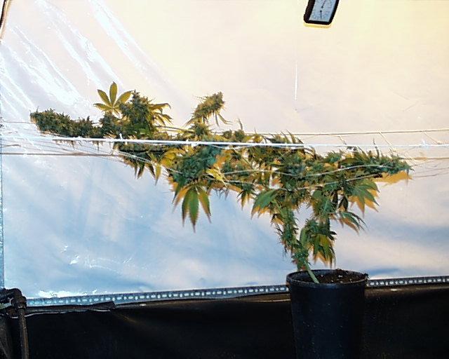 Феминизированные семена марихуаны K.С. Brains Seeds - Haze Special