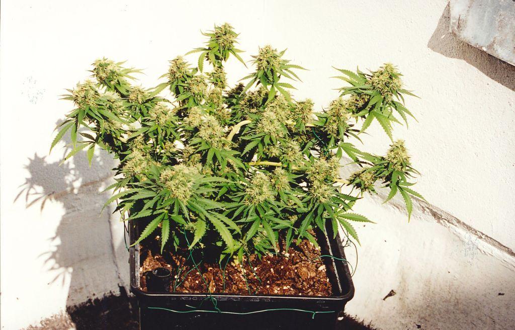 Феминизированные семена марихуаны K.С. Brains Seeds - K.C. 33