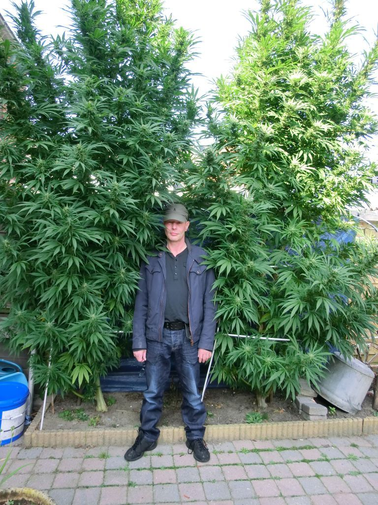 Феминизированные семена марихуаны K.С. Brains Seeds - T.N.R.