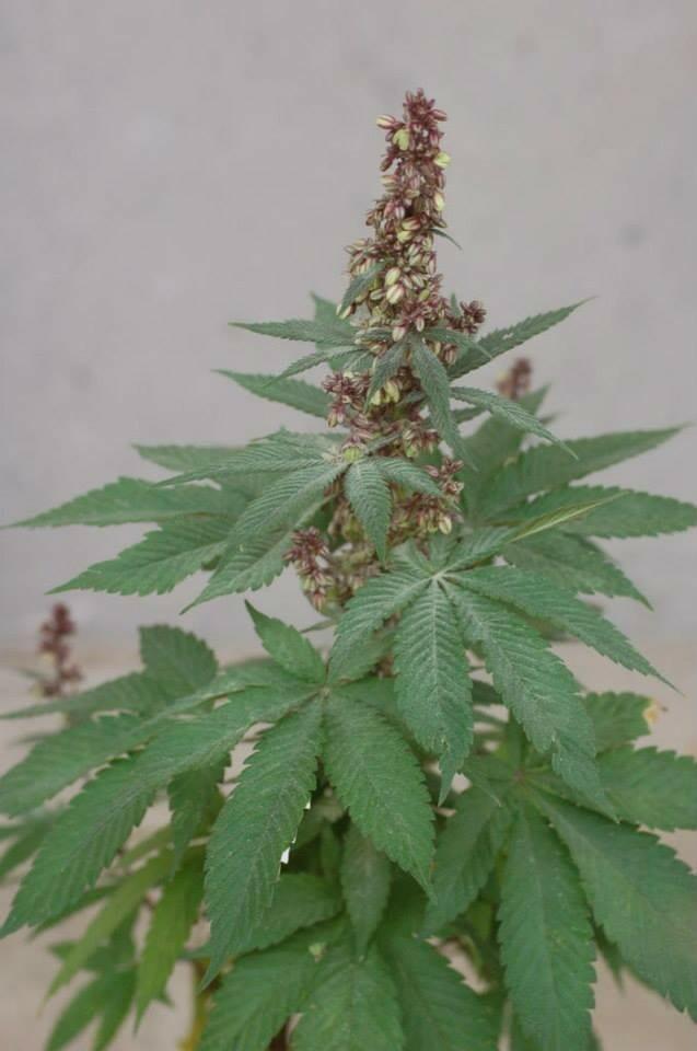 Ace Seeds - Pakistan Chitral Kush (reg.)