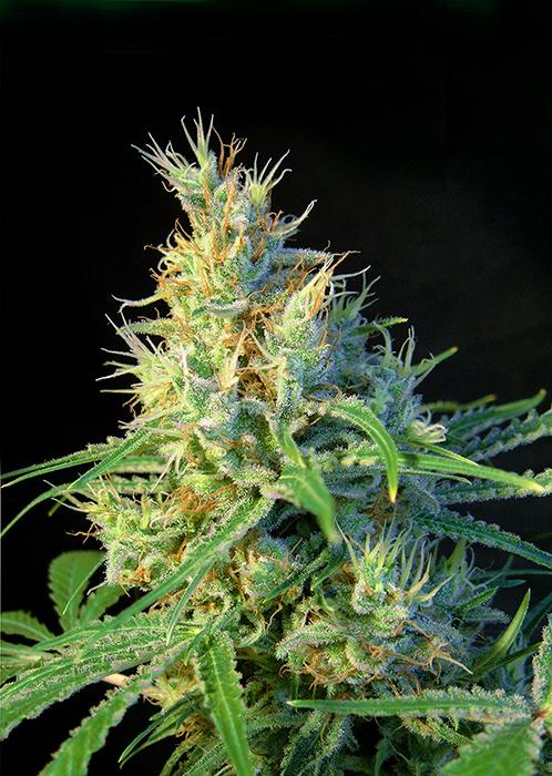 Sweet Seeds - Psicodelicia (fem.)
