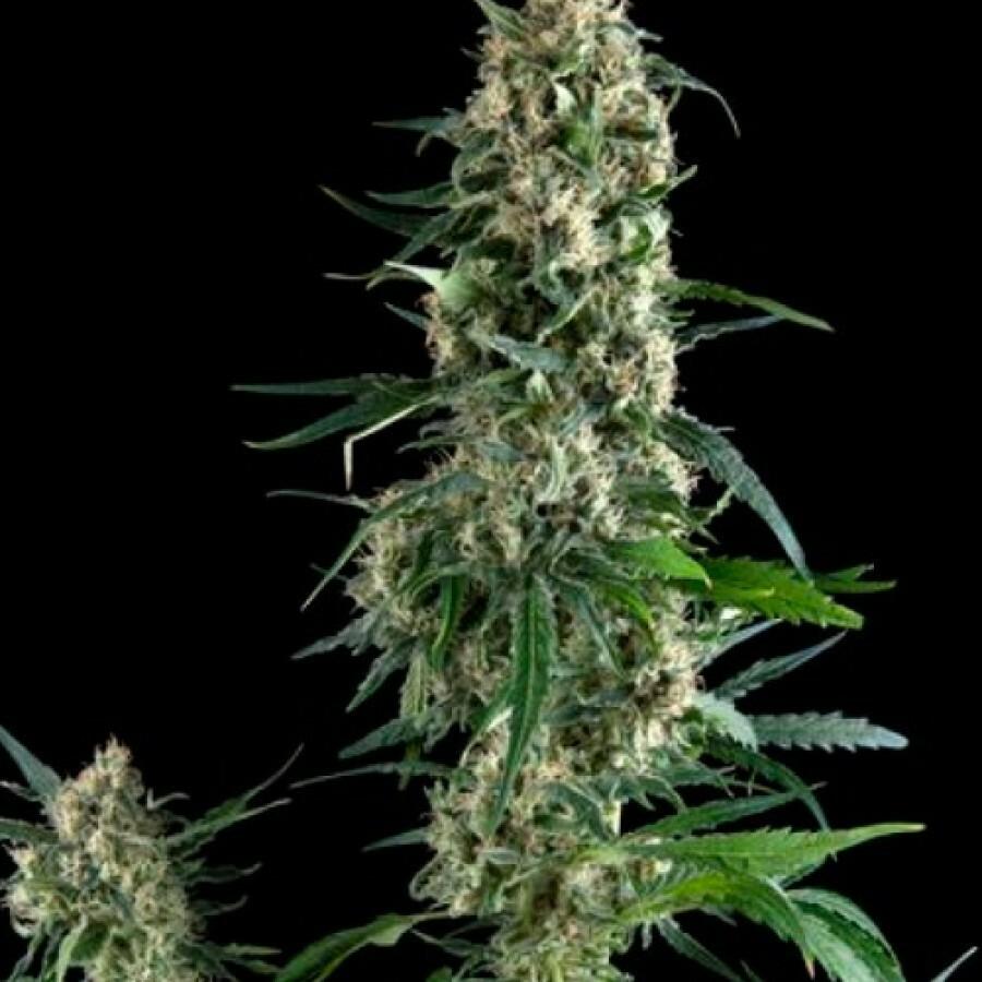 Pyramid Seeds - Amnesia Gold (fem.)