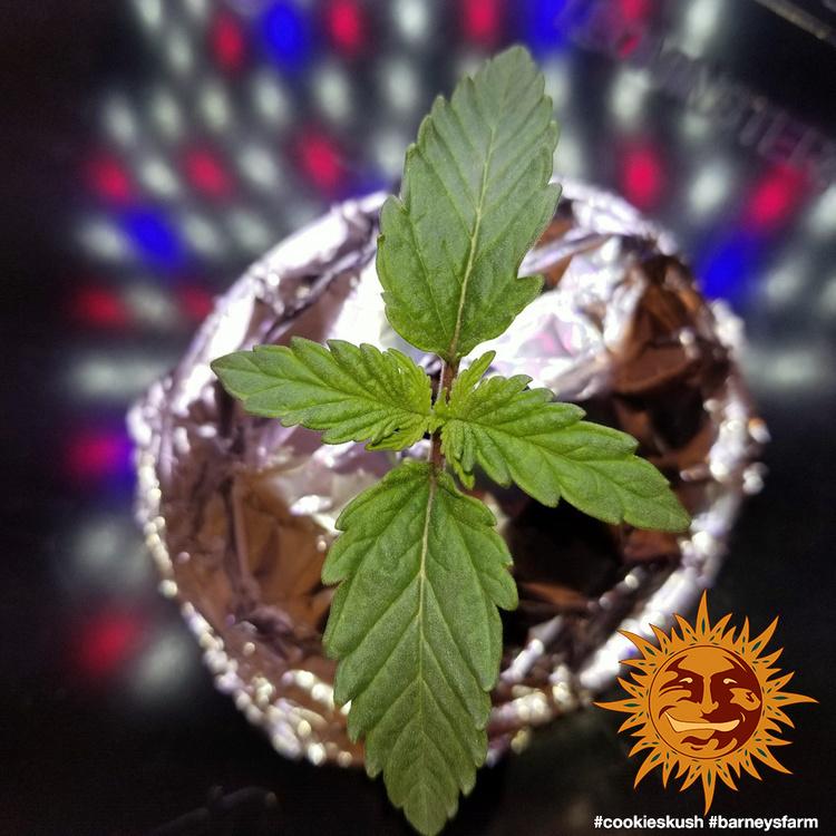 Barney's Farm - Cookies Kush (fem.)