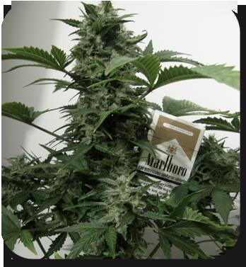 Buddha Seeds - White Dwarf (auto/reg.)