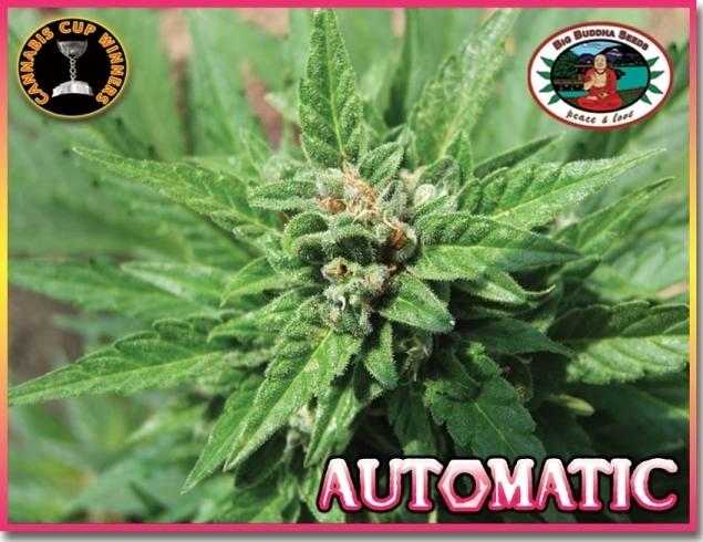 Big Buddha Seeds - Automatic (auto/fem.)