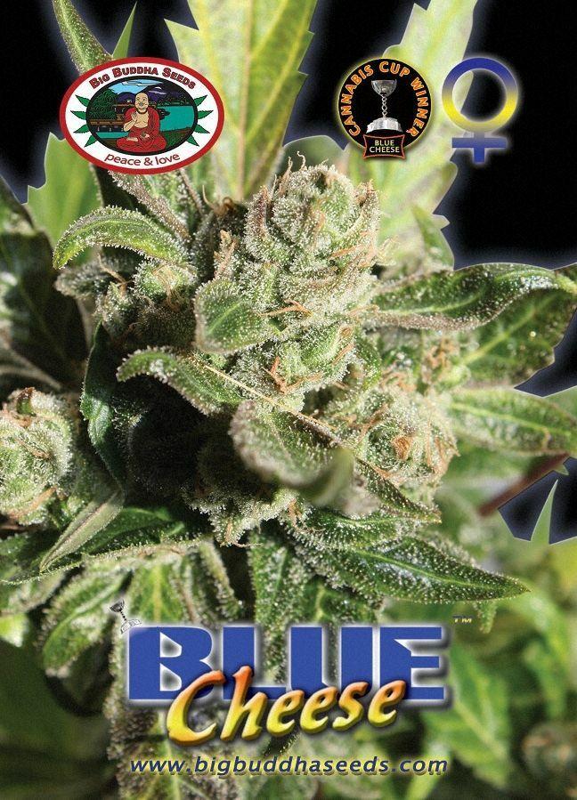 Big Buddha Seeds - Blue Cheese (fem.)