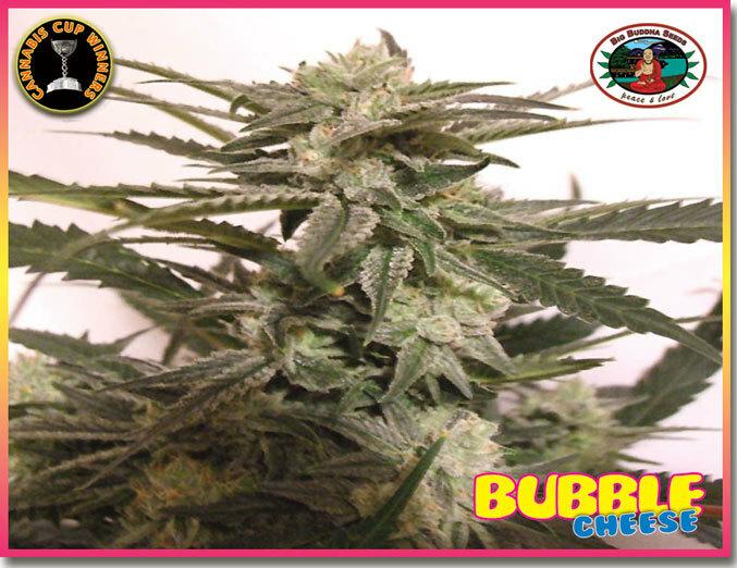 Big Buddha Seeds - Bubble Cheese (fem.)