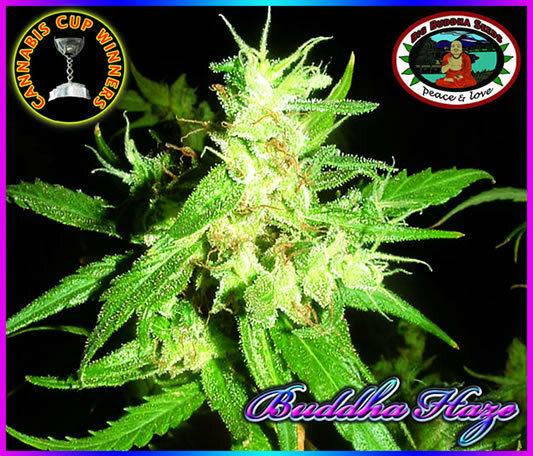 Big Buddha Seeds - Buddha Haze (fem.)