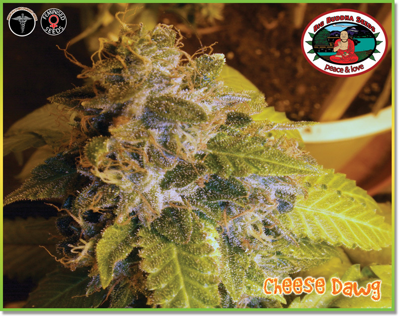 Big Buddha Seeds - Cheese Dawg (fem.)