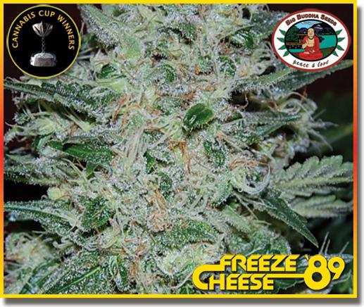 Big Buddha Seeds - Freeze Cheese 89 (fem.)