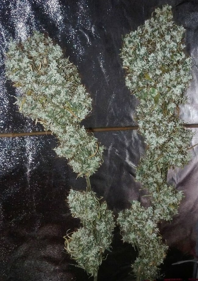 Ace Seeds - Zamaldelica (fem.)