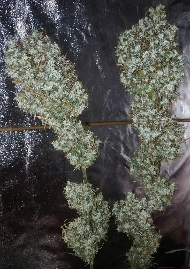 Ace Seeds - Zamaldelica (reg.)