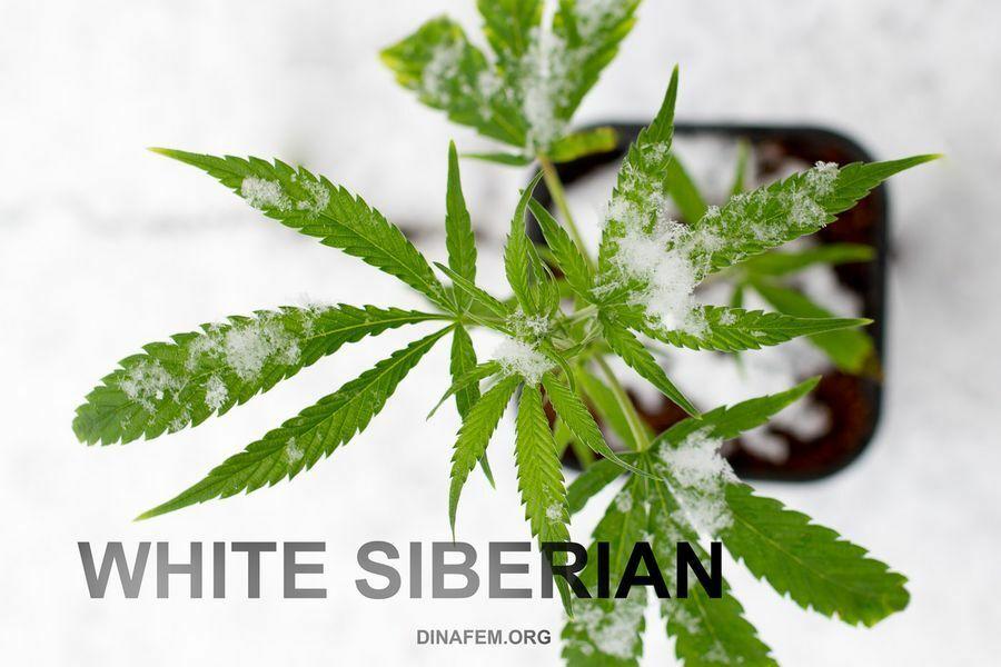 Dinafem - White Siberian (fem.)