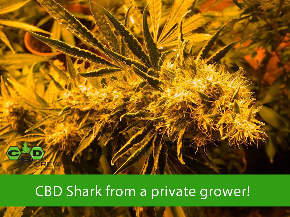 CBD Crew - CBD Shark (fem.)