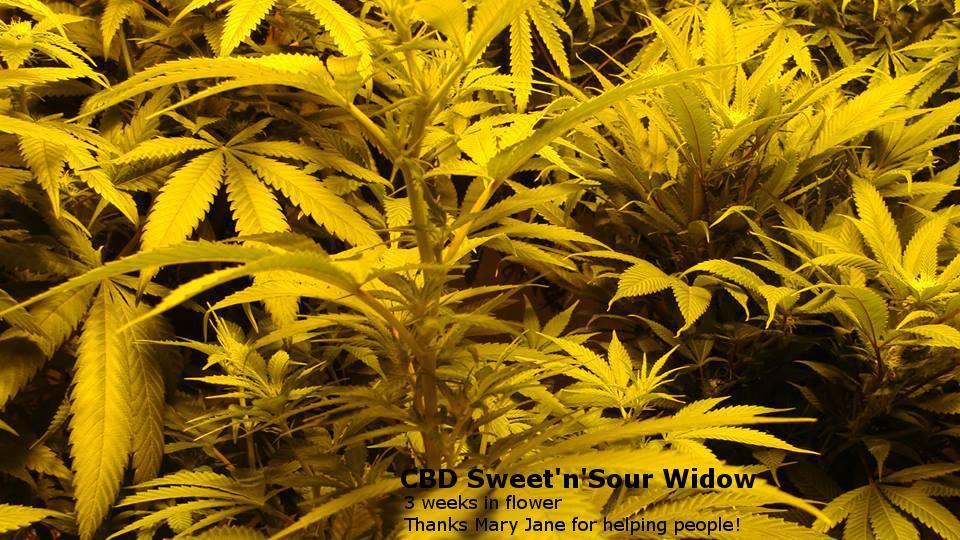 CBD Crew - CBD Sweet and Sour Widow (reg.)