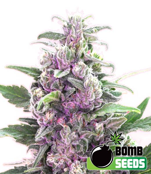 Bomb Seeds - THC Bomb (fem.)