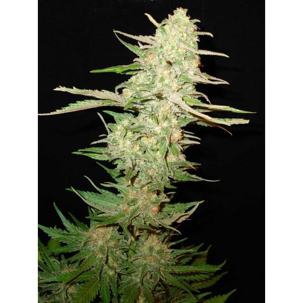 CBD Seeds - One to One (fem.)