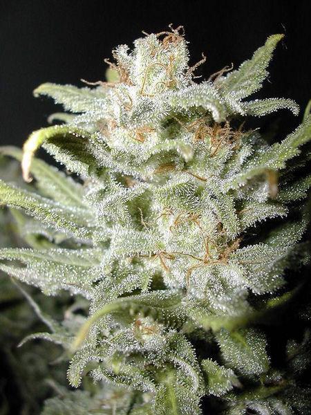Cannabiogen Seeds - Bangi Haze (reg.)