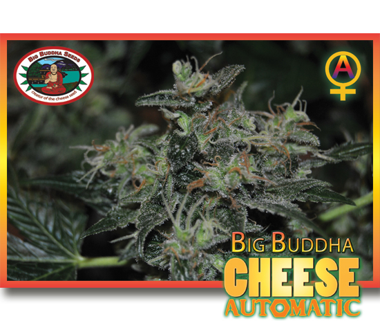 Big Buddha Seeds - Cheese Automatic (auto/fem.)