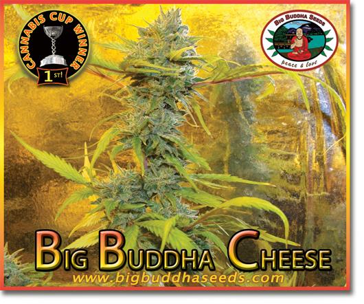 Big Buddha Seeds - Big Buddha Cheese (fem.)