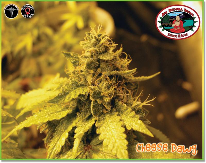 Big Buddha Seeds - Cheese Dawg (fem.)