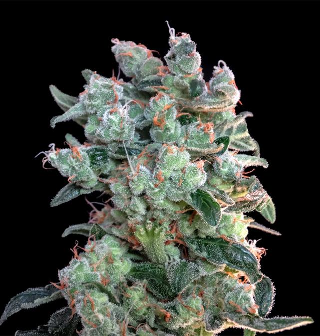 Genehtik Seeds - Santa Bilbo (fem.)