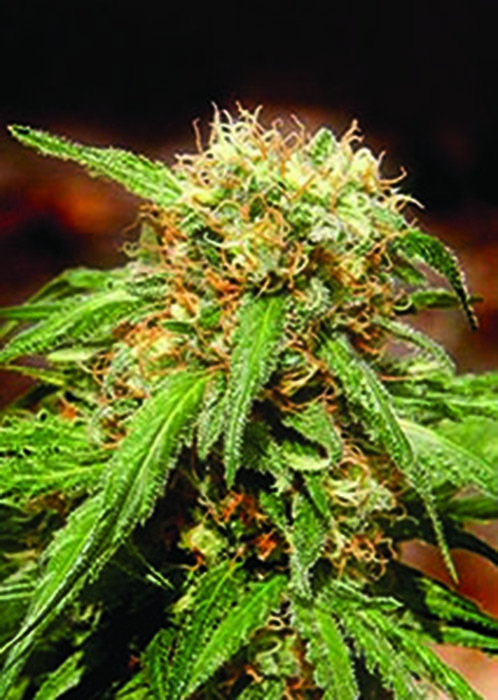 Sweet Seeds - Sweet Tai (fem.)