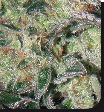 Buddha Seeds - Syrup (auto/reg.)