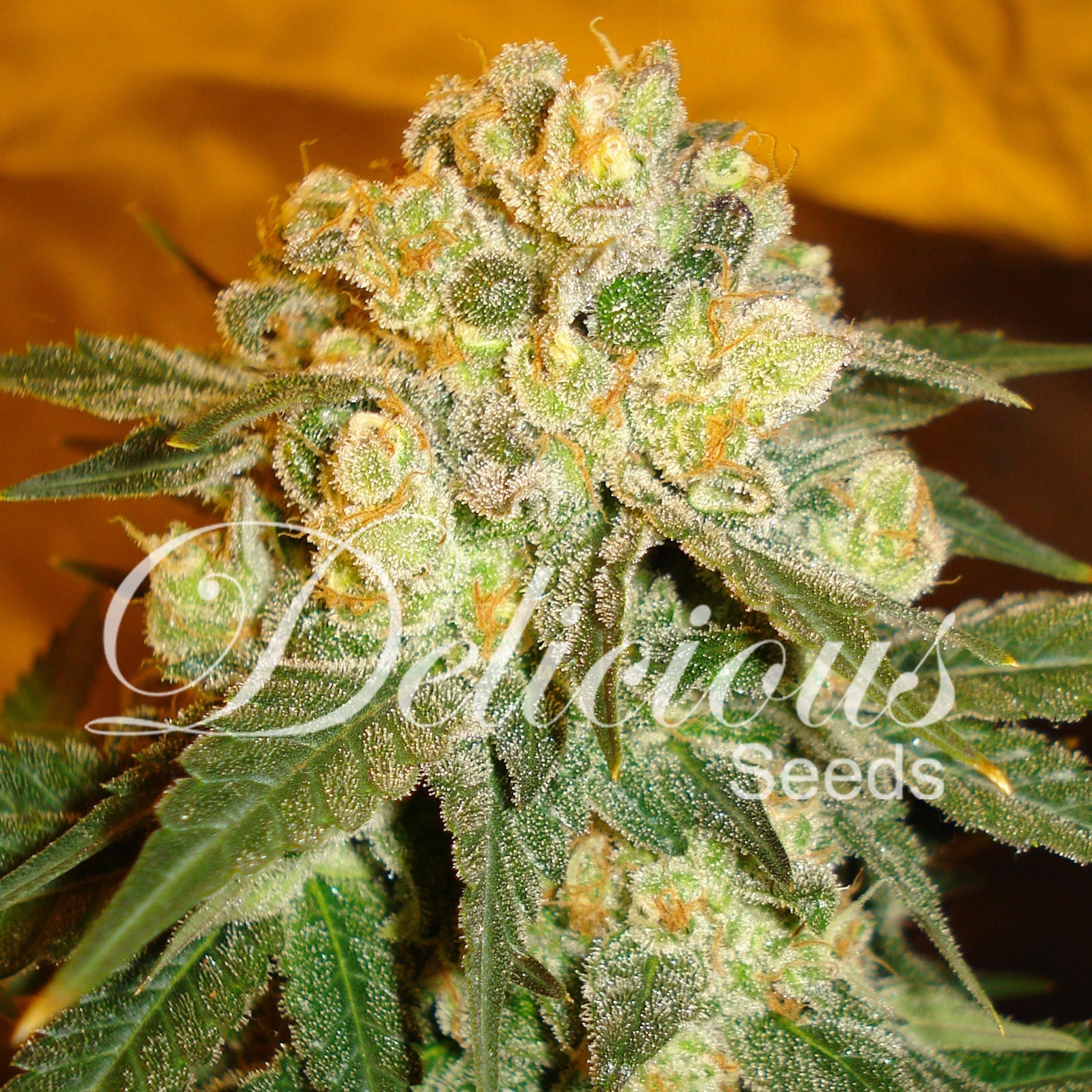 Delicious Seeds - Marmalate (reg.)
