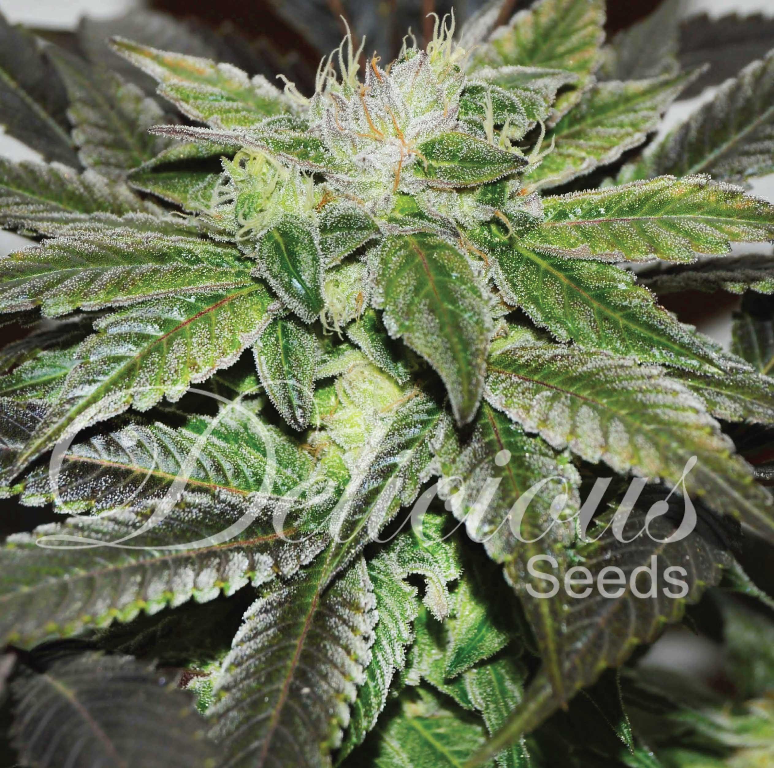 Delicious Seeds - Sugar Candy (fem.)