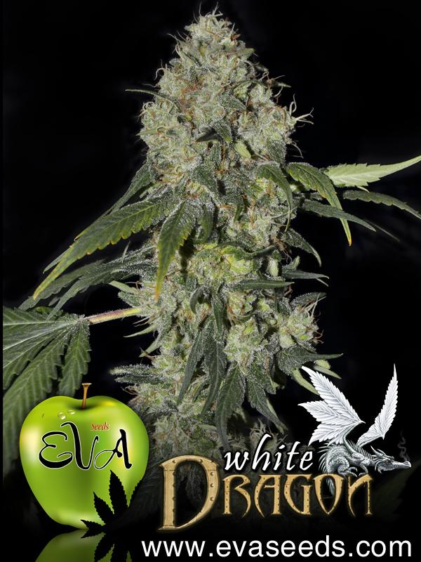 Eva Seeds - White Dragon (fem.)