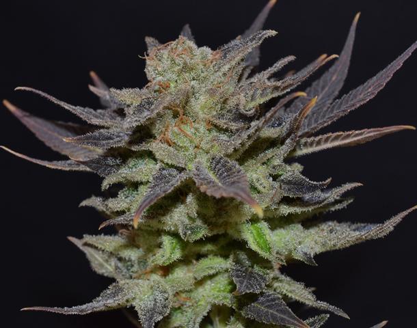 CBD Seeds - Auto Lavender (auto/fem.)