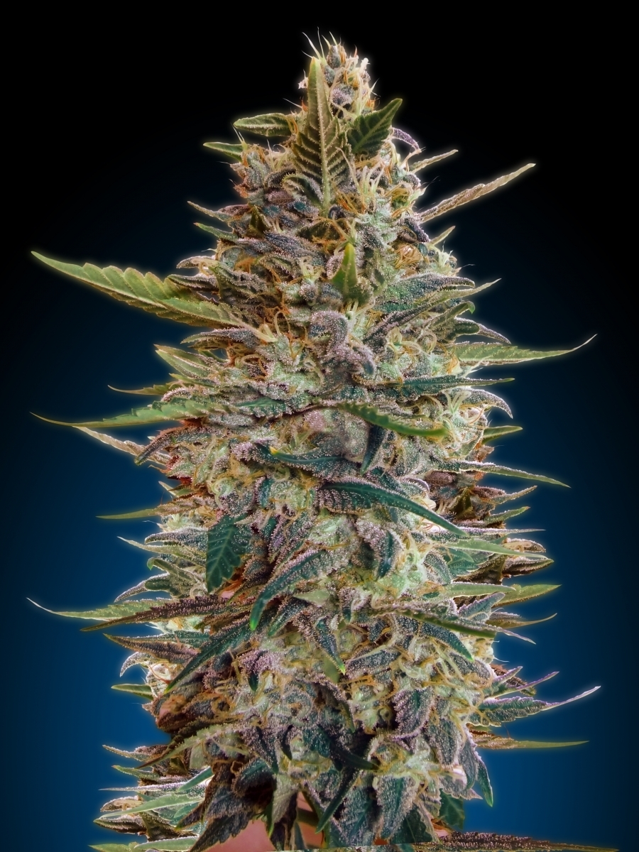 Advanced Seeds - Auto Blue Diesel (auto/fem.)