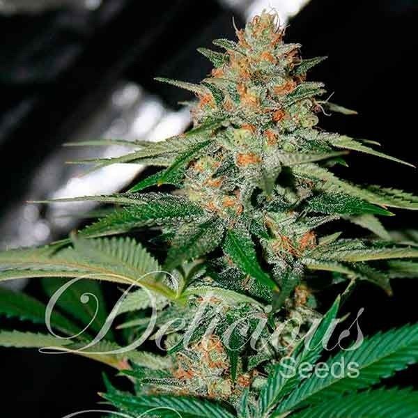 Delicious Seeds - Cheese Candy (reg.)