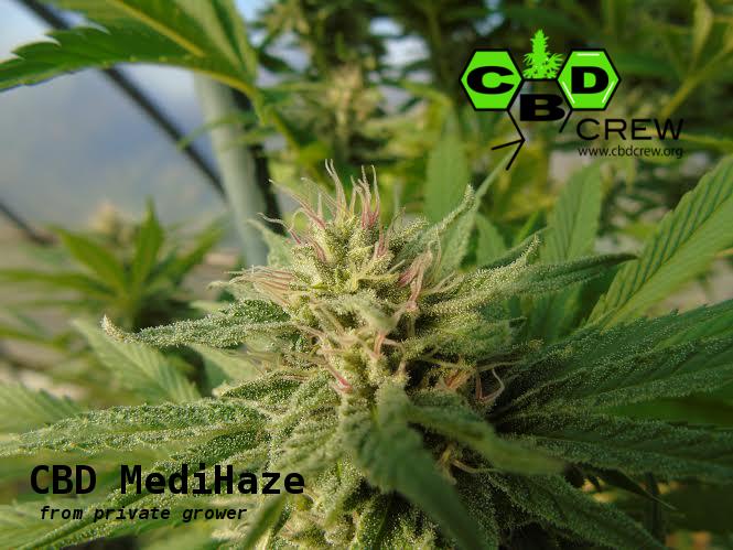 CBD Crew - CBD MediHaze (fem.)