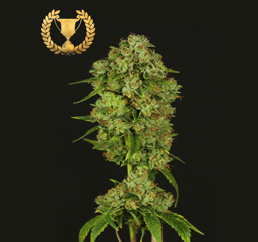 Devil's Harvest Seeds - Casey Jones (fem.)