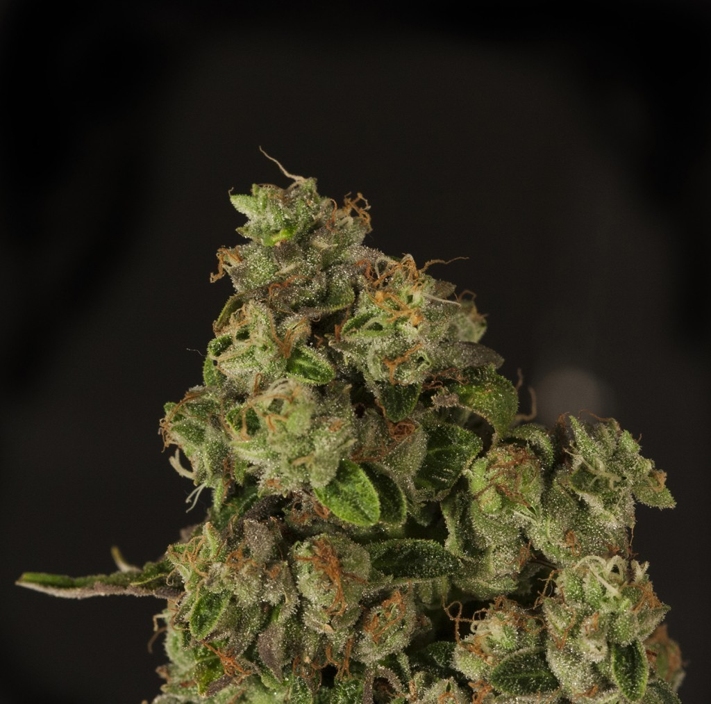 Devil's Harvest Seeds - OG Reek'n (reg.)