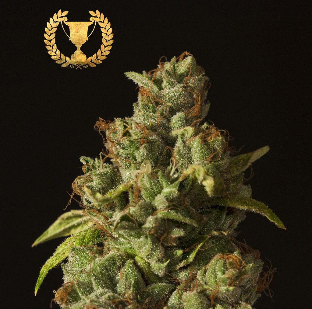 Devil's Harvest Seeds - Rollex OG Kush (fem.)