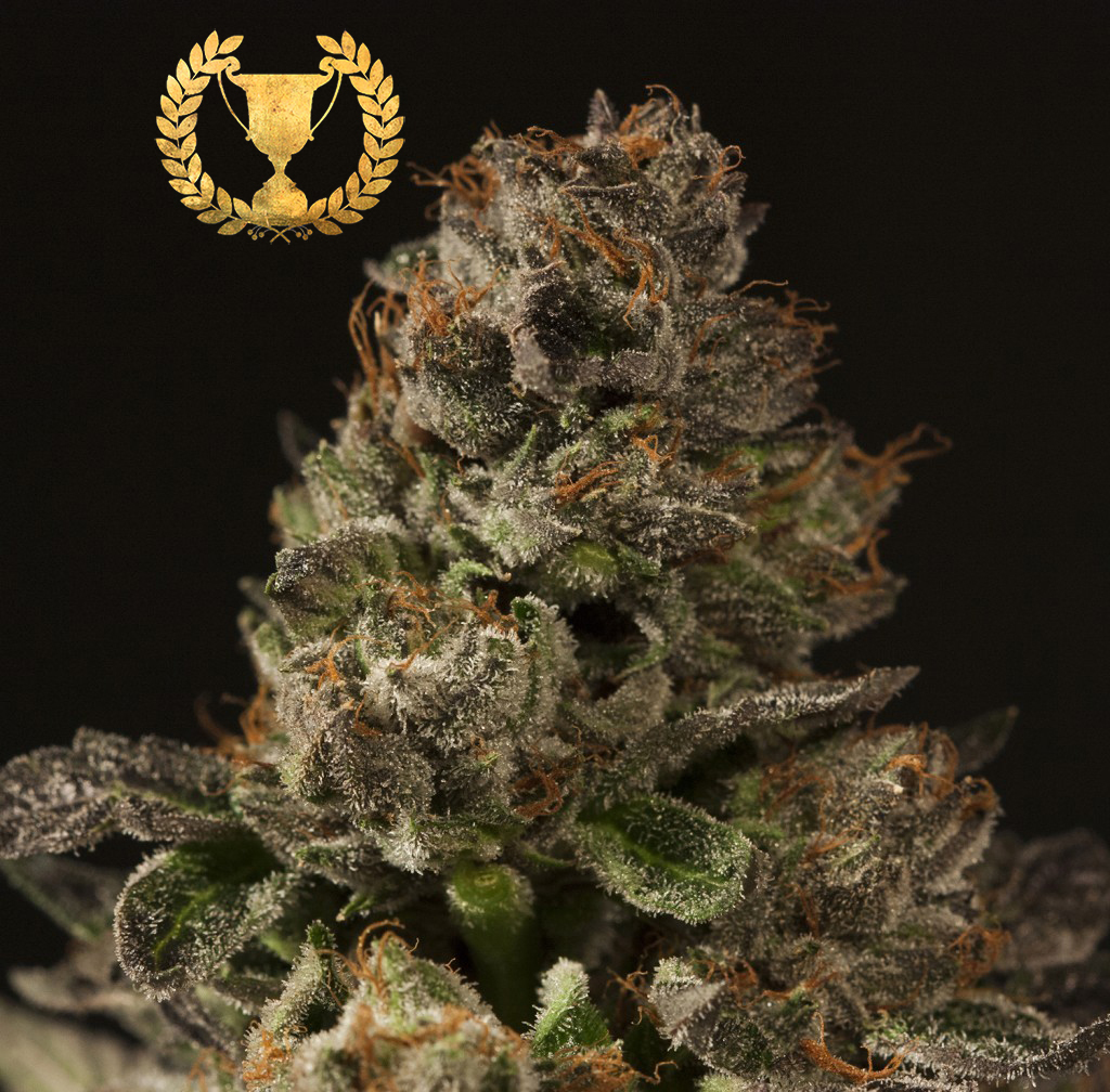 Devil's Harvest Seeds - Strawberry Sour Diesel (reg.)