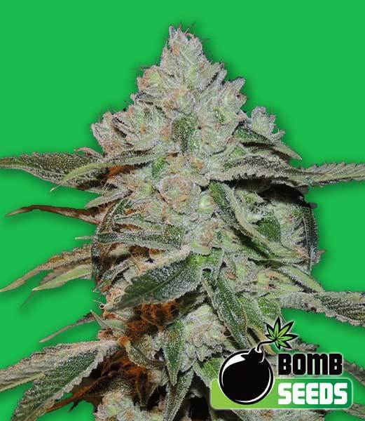 Bomb Seeds - Atomic (fem.)