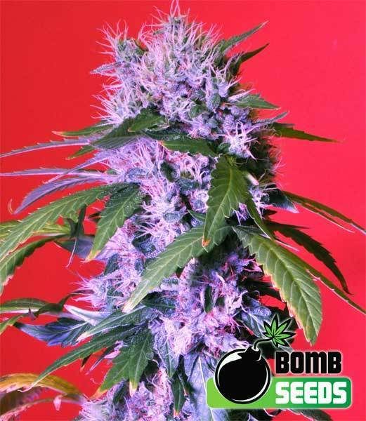 Bomb Seeds - Berry Bomb (fem.)