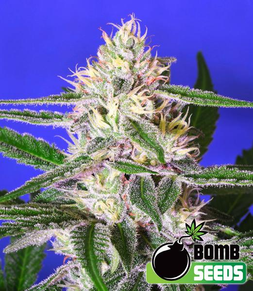 Bomb Seeds - Cheese Bomb (reg.)