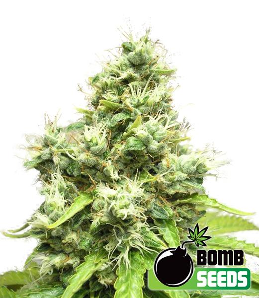 Bomb Seeds - Medi Bomb #1 (fem.)