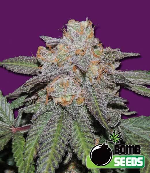 Bomb Seeds - Cherry Bomb Auto (auto/fem.)