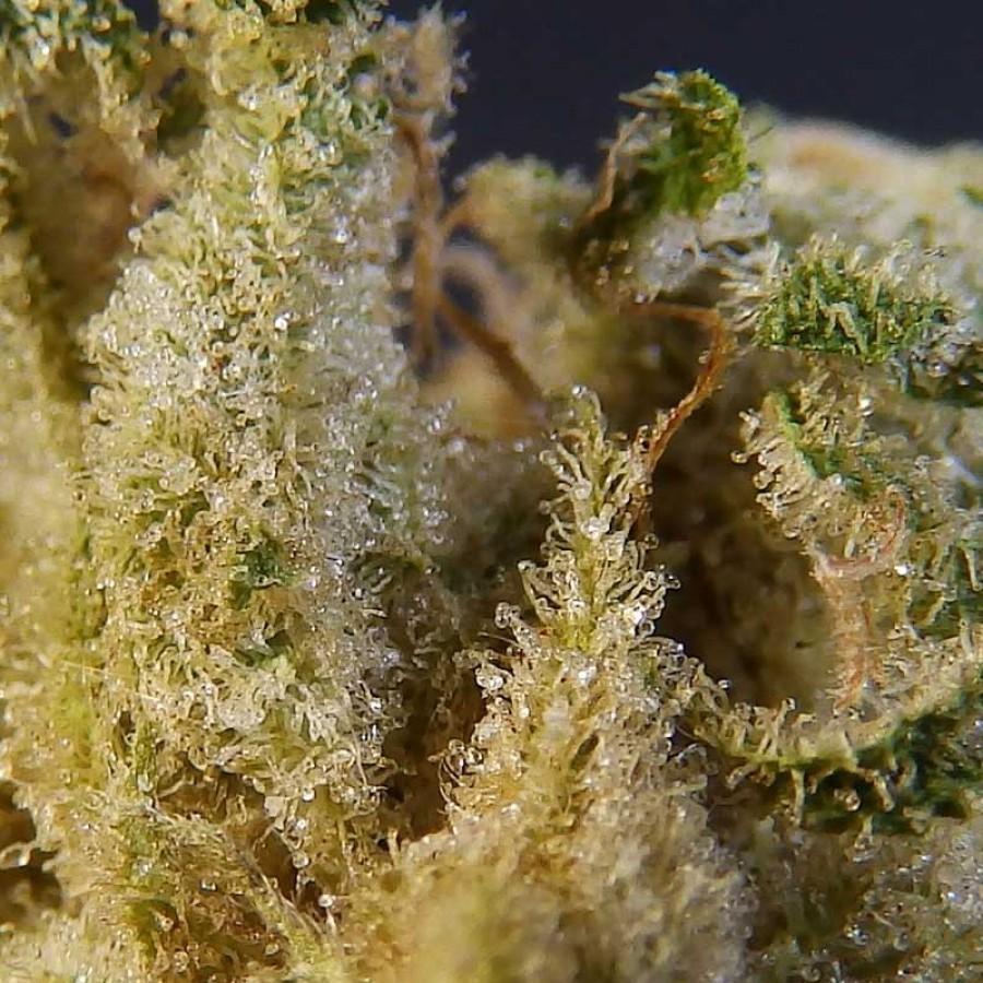 Biohazard Seeds - Psicotropic (fem.)