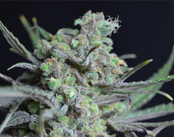 CBD Seeds - Critical (fem.)