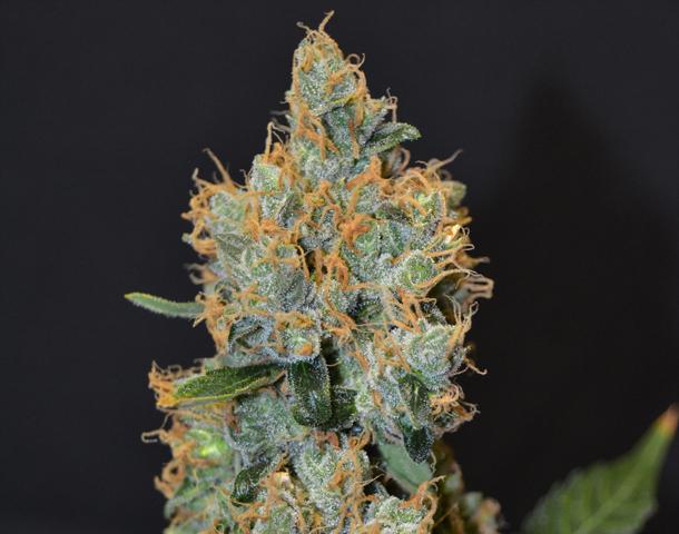 CBD Seeds - Lavender (fem.)