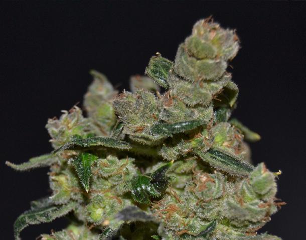 CBD Seeds - Diesel (fem.)