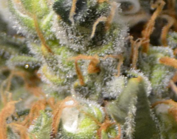 CBD Seeds - Kali (fem.)
