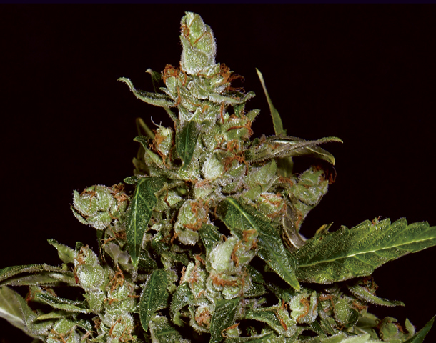 CBD Seeds - Auto Widow (auto/fem.)